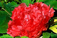 Paeonia suffruticosa _ red _ double _ secret _ morning dew