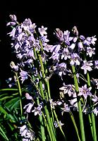 Hyacinthoides _ blue _ pretty spring flowers _ wild decorative effect