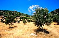 Greece _ Crete _ Olive_tree field