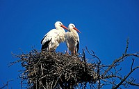 White Stork,Ciconia ciconia,Mannheim,Germany,Europe,adult couple on nest