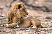 Lion,Panthera leo,Etoscha Nationalpark,Namibia,Africa,adult male