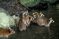 North American Raccoon,Procyon lotor,North America,group of adults in water searching for food