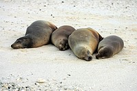 Galagagos Sea Lion,Zalophus californianus wollebaecki,Galapagos Islands,Ecuador,adult,females,group,ashore,shore,sleeping