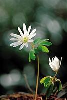 Anemone Raddeana,Wildflower