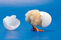 A Chick,Eggshell