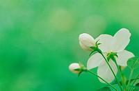 Appleflower