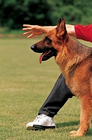 A German Shepherd