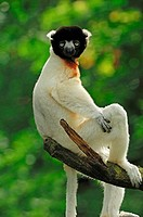 crowned sifaka on branch