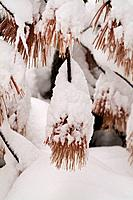 Snow on pine branches in Truckee CA