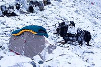 A tent and Yaks on a snowy morning in Cho Oyu base camp in Tibet