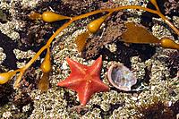 A red starfish in a tide pool in Garipotta State Park in California
