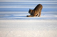 Canadian lynx, Lynx canadensis, snow