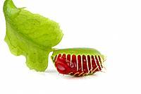 Dionaea muscipula, Venus flytrap