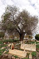 Israel the Upper Galilee Atlantic Pistachio Pistacia Atlantica tree at the Muslim cemetery in Tuba_Zangria