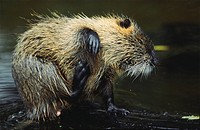 Nutria, Myocastor coypus, scratch, cleaning, riversides, series, beaver, swamp_beavers, tail_beavers, tail_rat, Coypu, water_rat, nature, Wildlife, an...