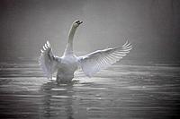 Hump_swan, Cygnus olor, water_surface, movement, flap