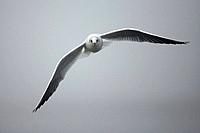 black_headed gull, Larus ridibundus, flight