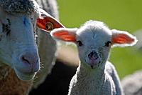 merino sheep, lamb, dam, close_up