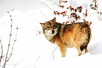Wolf (Canis lupus). Bayerischer Wald National Park. Germany