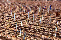Pruned vineyards