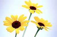 Daisies (Chrysanthemum carinatum)