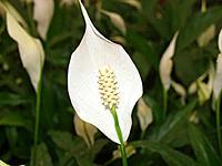 Spathyphyllum (Spathyphyllum sp.)