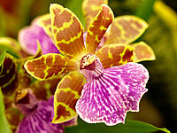 Orchid Zygopetalum sp