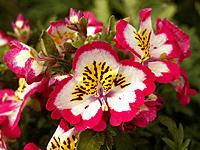Schizanthus (Schizanthus sp.)