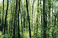 Maple tree forest in spring. Rougemont. Quebec, Canada