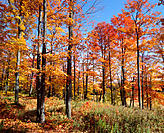 Maple tree forest in autumn. Rawdon. Lanaudière. Quebec. Canada