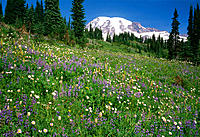 Wildflowers bloom in Mountain meadow below Mt. Rainier. Mt. Rainier National Park. Pierce County. Washington. USA