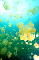 Mastagias. Jellyfish Lake. Palau. World Heritage Site. Micronesia