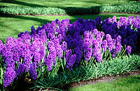 Hyacinthus orientalis 'Blue Jacket' at Keukenhof Gardens. Holland