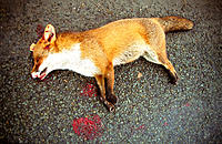 Dead fox on road. Devon. England UK Europe