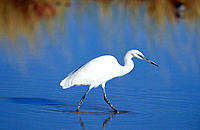 Little Egret (Egretta garzetta). Etosha National Park, Namibia