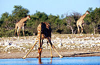 Giraffe (Giraffa camelopardalis), female drinking. Etosha National Park, Namibia