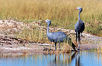Blue Crane (Anthropoides paradisea). Etosha National Park, Namibia