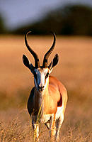 Springbok (Antidorcas marsupialis), male at sunset. Etosha National Park, Namibia