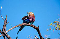 Lilac-breasted Roller (Coracias caudata). Etosha National Park, Namibia