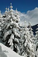 Snow_covered fir trees, Davos, Switzerland