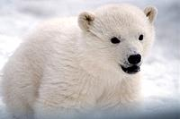 Polar bear, Ursus maritimus, baby, cub, white, portrait, bear, bears, one animal, offspring, young, snow