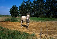 Camargue Provence France Horse On Farm 