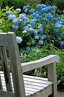 Hydrangeas and garden bench