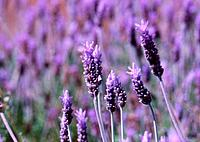Detail: Lavender on a field Lavandula angustifolia