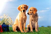 two young Golden Retrievers _ sitting