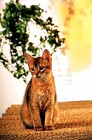 young Somali cat _ sitting on rug