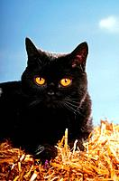 black British shorthair _ lying in straw