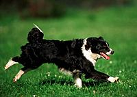 Border Collie _ running on meadow