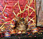 Maine Coon kittens _ with paper streamers