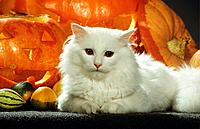white Maine Coon _ lying in front of pumpkins